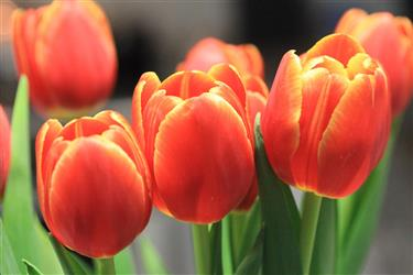 banner red tulips